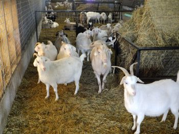 Really Wanted To Have Livestock On The Farm We Had Been Doing Our Research Savanna Goats And Next Thing I Found Myself Back In Goat Business